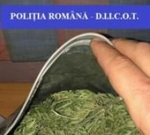 Cultură de cannabis indoor, descoperită în județul Bihor