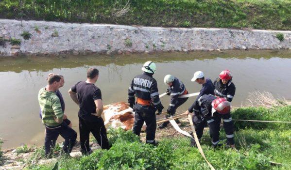 Pompierii au intervenit pentru salvarea unei vaci căzute într-un canal colector din localitatea Paleu